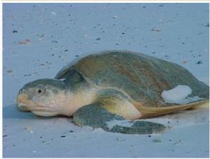 Kemps-ridley-sea-turtle-Photo-source-Wkipedia.png