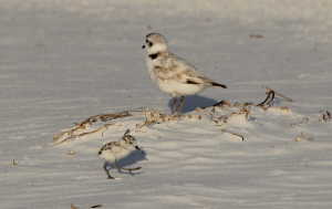 A chick snowy plover with an adult.